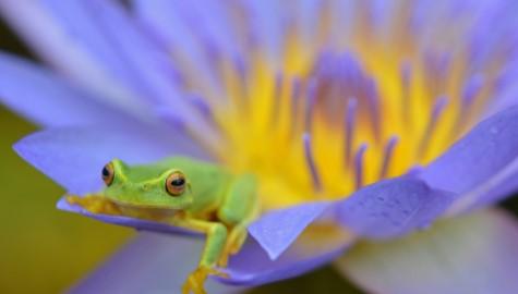 En afslappet grøn frøg liggende på et blomsterblad